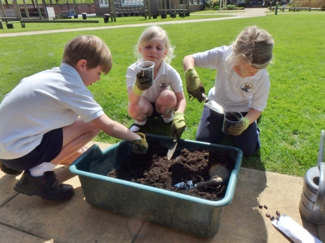 Year 2 planting whopper beans