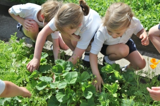 Year 1 picking radishes